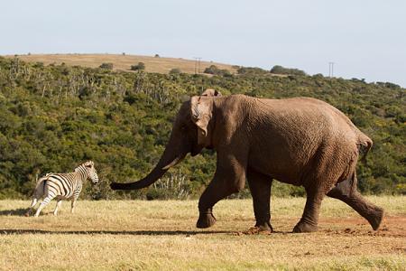 Zebras Challenge Elephants