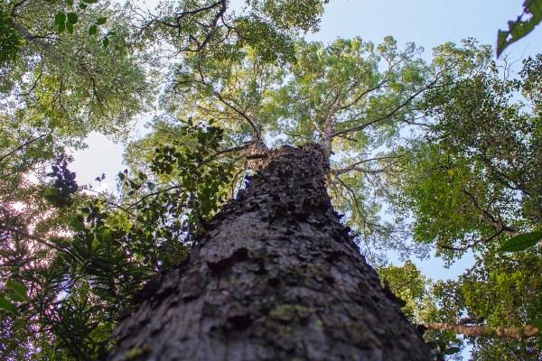 Outeniqua Yellow-wood tree