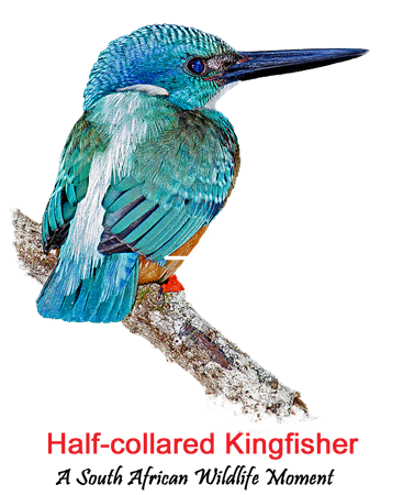 extreme style Half-collared Kingfisher