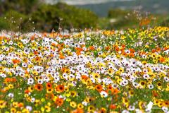 West Coast NP - Aug'15: Nature's annual flower exhibition